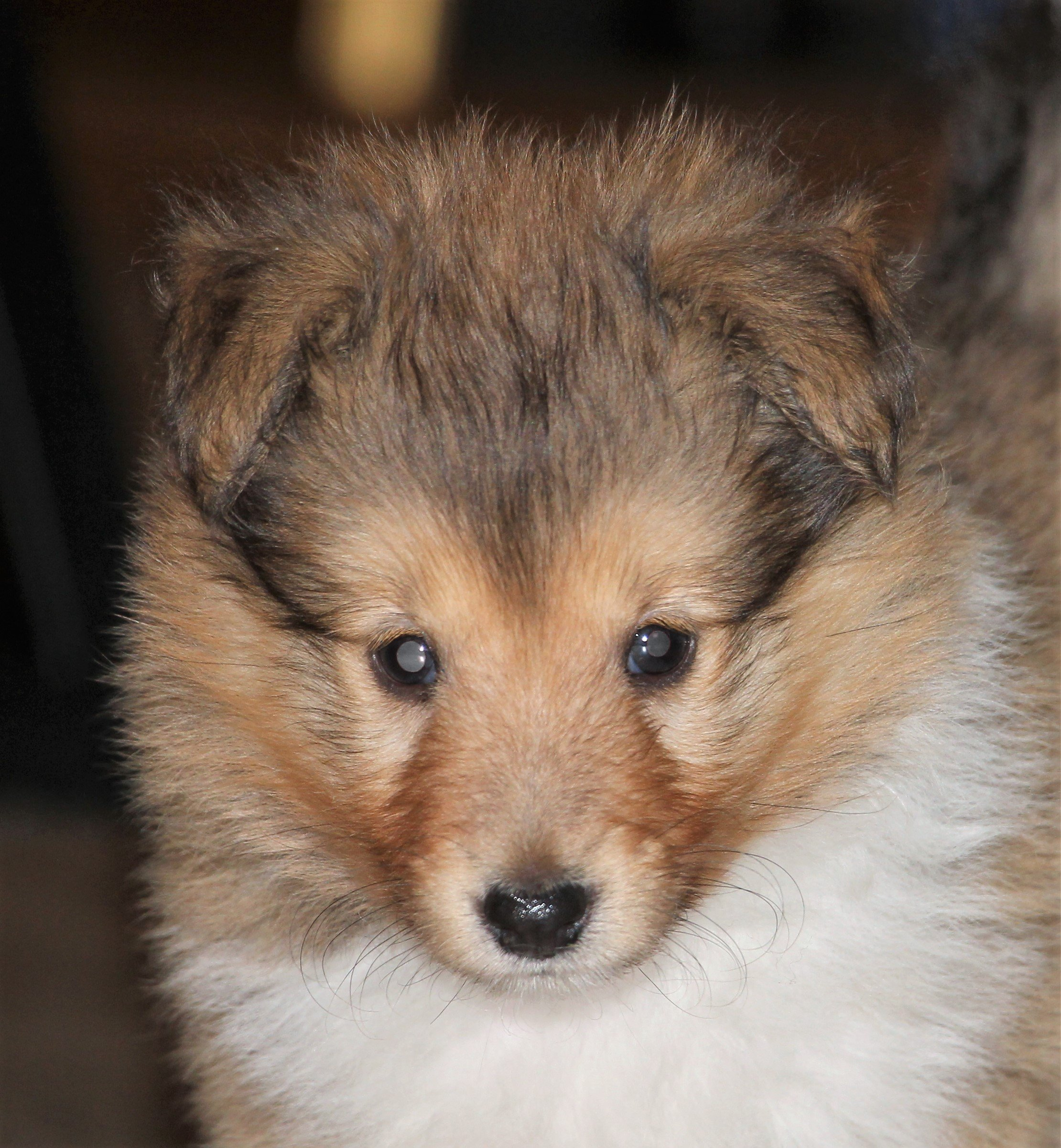 Minshelties King Of Mne 6 weeks